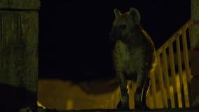 Una hiena salvaje manchada que busca para que comida limpie cerca de las fronteras de la ciudad de Harar en Etiopía foto de archivo libre de regalías