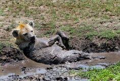 Una hiena solitaria que toma un baño de fango Fotos de archivo libres de regalías