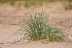Una hierba verde de la playa que crece en la arena Flora hermosa de la playa en el viento Imagenes de archivo
