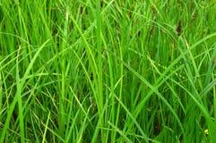 Una hierba verde enorme del pantano Crece en áreas mojadas Imágenes de archivo libres de regalías
