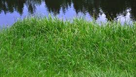 Una hierba verde enorme del pantano Crece en áreas mojadas En el río refleja los árboles Fotografía de archivo