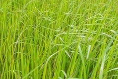 Una hierba verde natural foto de archivo libre de regalías
