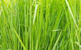 Una hierba verde natural imagen de archivo libre de regalías