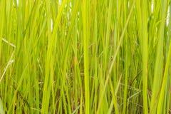 Una hierba verde natural fotografía de archivo libre de regalías