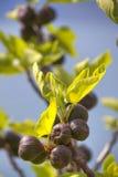 Una higuera con las hojas verdes brillantes y las frutas suaves violetas Fotografía de archivo