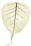 Una hoja caida secada transparente verde gris Foto de archivo