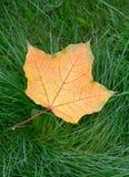 Una hoja de arce amarilla del otoño Fotografía de archivo libre de regalías