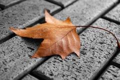 Una hoja de arce amarilla solitaria que miente en el pavimento imagen de archivo libre de regalías
