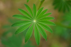 Una hoja de la flor del altramuz Fotografía de archivo libre de regalías