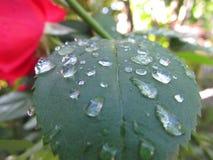 Una hoja de rosas después de la lluvia Fotografía de archivo libre de regalías