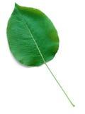 Una hoja de un árbol de pera Imágenes de archivo libres de regalías