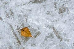 Una hoja del abedul congeló en el hielo Imagen de archivo