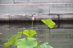 Una hoja delgada del loto, no todavía desplegada, aparece apenas cuándo en su extremidad acentuada se enciende una libélula imagen de archivo