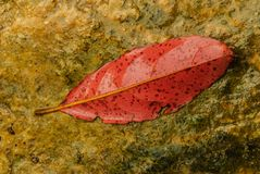 Una hoja es roja Foto de archivo