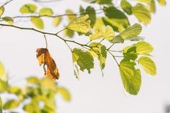 Una hoja marrón vieja en la rama de hojas verdes Imagen de archivo libre de regalías