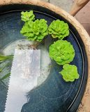 Una hoja rizada Rosette Water Lettuce foto de archivo