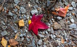 Una hoja roja en la tierra durante temporada de oto?o del oto?o en el sur de Australia alto de los jardines bot?nicos del soporte fotografía de archivo