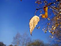 Una hoja solitaria del abedul contra el cielo azul Fotos de archivo