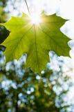 Una hoja verde Imagen de archivo libre de regalías