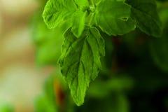 Una hoja verde del tulsi que brota hacia fuera en medio de la planta hermosa imagen de archivo