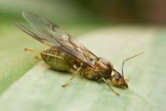 Una hormiga coa alas Fotos de archivo