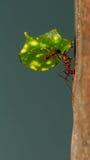 Una hormiga del cortador de la hoja Imagen de archivo libre de regalías