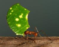 Una hormiga del cortador de la hoja Imágenes de archivo libres de regalías