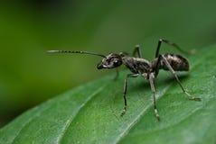Una hormiga negra Fotos de archivo