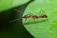 Una hormiga roja Imágenes de archivo libres de regalías