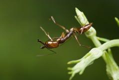 Una hormiga roja Imagenes de archivo