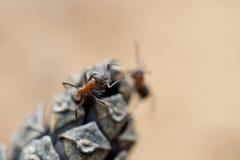 Una hormiga solitaria en un pedazo de Imagen de archivo libre de regalías