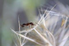 Una hormiga y un diente de león blanco Foto de archivo