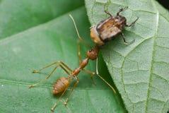 Una hormiga y un escarabajo rojos del tejedor Imagen de archivo