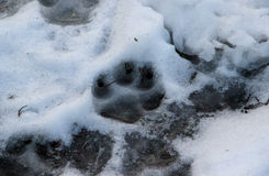 Una huella del ` s del perro en una nieve derretida Imágenes de archivo libres de regalías
