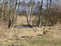 Una hueva de la huida buck en un bosque aluvial Imagenes de archivo
