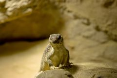 una iguana de desierto en la roca ilustración del vector