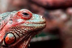 Una iguana hermosa joven Foto de archivo libre de regalías