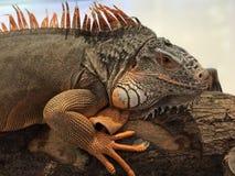 Una iguana roja grande Imagen de archivo