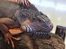 Una iguana roja grande Fotos de archivo libres de regalías