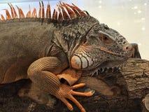 Una iguana roja grande Fotos de archivo