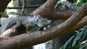 Una iguana verde de la iguana de la iguana camina a lo largo de una rama de árbol en la selva tropical almacen de metraje de vídeo