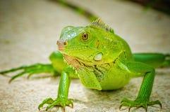 Una iguana verde que toma el sol en el sol Foto de archivo libre de regalías