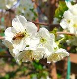 Una imagen de un aspicot que se sienta en una flor blanca de un árbol se representa Plantas florecientes con las majas y el stame Fotos de archivo