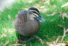 Pato salvaje Imagen de archivo