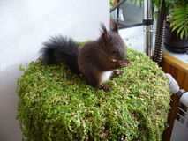 Una imagen de una ardilla en un pote de flores Imagen de archivo libre de regalías