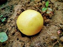 Una imagen del limón amarillo fresco fotografía de archivo