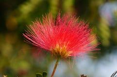 Una imagen del primer de la flor del julibrissin del Albizia Imágenes de archivo libres de regalías
