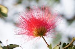 Una imagen del primer de la flor del julibrissin del Albizia Imagen de archivo libre de regalías