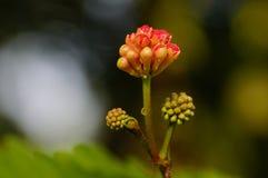Una imagen del primer del flor-brote del julibrissin del Albizia Imágenes de archivo libres de regalías