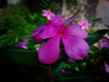 Una imagen hermosa del Vinca del jardín imagen de archivo libre de regalías